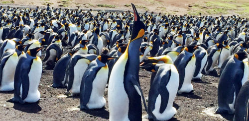 FullSizeRender_Falklands Penguins2_Joe Kita_crp